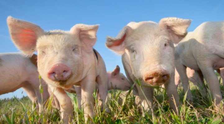 Study on activities of pigs
