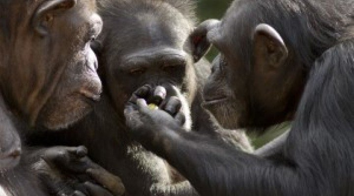 Tool transfers are a form of teaching among chimpanzees
