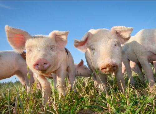 Métodos de Etología de Animales de Granja